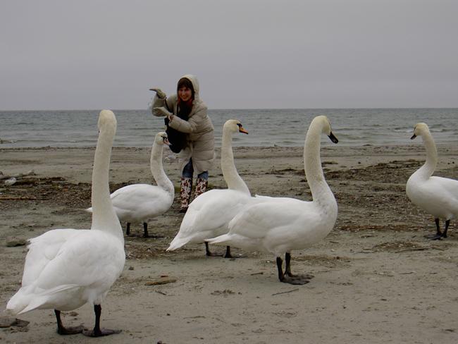 Лебеди в Таллине